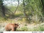 Elusive cinnamon  bear