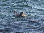 Cape clawless otter swimming towards small rocks in front of the house.