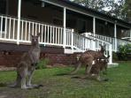 Local family of kangaroos frequent the area