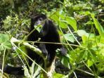 Howler Monkey eating Papaya leaves near Tree House.