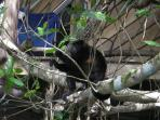 Howler Monkey eating and hanging out next to Tree House balcony