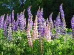 Lupine on road in front of Meadowood Cabin