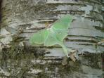 Lunar Moth on birch outside off the deck at Meadowood Cabin