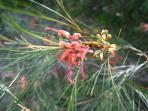 Native grevillas in flower