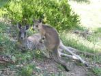 Kangaroos are regular visitors