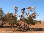 Goats on trees