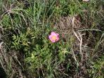wild roses abound