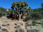 Trail Ride with old Joshua Tree