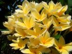 Yellow Frangipani in the garden