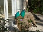 Wild Peacocks