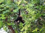 Local wildlife in Puerto Aventuras, Spider Monkey