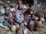 shells from Sapelo Island beaches