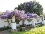 The Wisteria is in full bloom during March