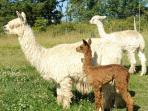 Suri alpacas - Ally & Maggie