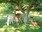 Suri alpacas enjoying the shade of the apple tree