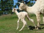 Baby alpaca's first steps