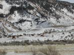 The Elk Herd at Mammouth Hot Springs