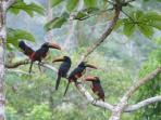 AraCari Toucans close to house taken from living room!