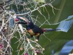 Aracari toucanette