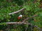 Abaco Parrots in your backyard