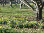 Chestnut orchard - spring