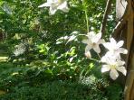 Garden Cottage - clematis