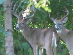 Deer in back yard who eat fallen fruit from apple and cherry trees, lay in sun and sleep behind shed