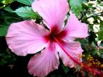 Enjoy tropical fruits & flowers like this hibiscus grown fresh on the grounds