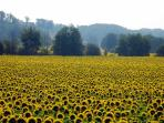 Sunflowers in the Dordogne Valley