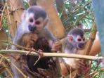 Frequent Visitors - squirrel monkeys