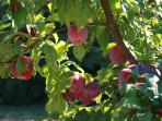 Plums in the orchard