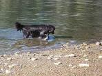 Dog wading at our tidal beach on the back cove (Carrying Place Cove)