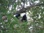 Howler monkeys - at the condo
