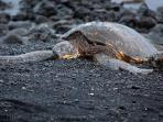 Drive to Punaluu Beach to relax in the sun with the turtles