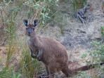 Wildlife at your doorm island beach accommodation, kangaroo island