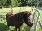 Misty the Shetland Pony waiting for apples and carrots