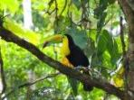 Toucan in The garden