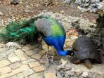 Barbados Wildlife Reserve – peacock and tortoise