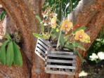 Orchids on the Gumbo Limbo Tree