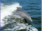 Dolphin-Sanibel Island