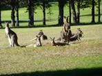 See kangaroos up close