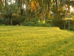 A ricefield walk can be started from the property's back door. This photo was taken during sunset