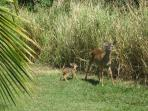 Cruzan Sands Villa - Mama and fawn!