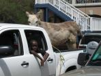 Cruzan Sands Villa - Donkey in Truck....really!