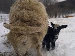 Mamma and new lamb