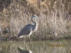 Blue Heron on big pond