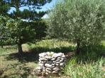 The garden: olive, fig, prune, apricot trees, roses, pink laurels, rosemary, lavender, and more.