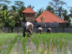 Workers planting the rice fields behind the house. There are usually three cycles of rice per year.