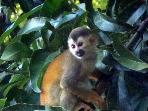 Mono Titi Monkey - frequent visitors at the Bali House