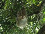 Sloth hanging from the mango tree poolside